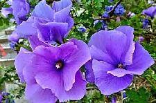 Alyogyne huegelii (Lilac or Blue Hibiscus) x 50 seeds. Native. Marvelous Mallow