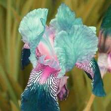 Usa Seller 25 Seeds Iris Flower Blue Pink Garden Plants