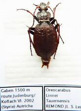 Carabus carpatophilus linnei tauernensis (female A1) from AUSTRIA