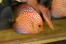 Checkerboard Pigeon Discus - Beautiful Live Tropical Fish