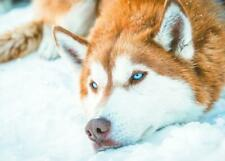 Polarhund * Schlittenhund * Husky * Malamute *  Dog  * Postkarte  *  Postcard 4