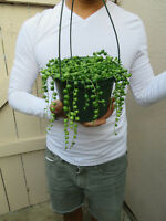 String of Pearls Succulent-Senecio - 5 inch hanging pot