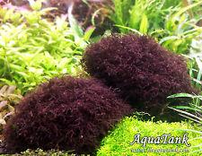 Caloglossa sp. beccarii / red moss- Live Aquatic Aquarium Plants