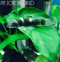 Panda Garra - Garra flavatra, Live Freshwater Tropical Fish - Cyprinid Algae