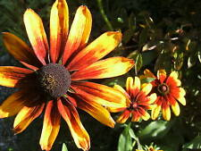 Sonnenhut gelb braun Sonnenhut rudbeckia hirta Samen Blumen Rarität