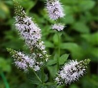 100 Peppermint Seeds Herb Seeds