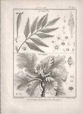1791 Antique Botanical B/W print Arctopus from Lamarck's Tableau Methodique