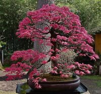 BEST COLLECTION OF 95!! BONSAI TREE SEEDS TOGETHER WITH FULL INSTRUCTION package