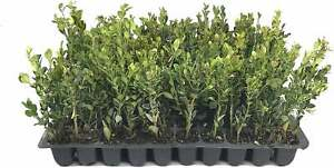 Winter Gem Korean Boxwood - Live Plants - Cold Hardy Evergreen Shrubs