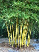 20x Bambusa nutans burmese timber bamboo Seeds Growing Garden Plant
