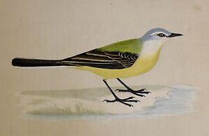 c1875 ANTIQUE PRINT ~ GREYHEADED WAGTAIL ~ HAND COLOURED British Birds Morris