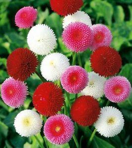 Seeds English Daisy Bellis Perennis Pompon Mix Annual Outdoor Flower Ukraine