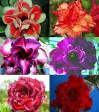 "NEW! Beautiful Adenium Obesum Desert Rose ""Mixed"" 6 Plants 6 Types!"