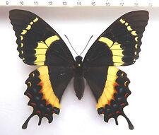 Papilio garamas ssp.electryon female rare aberation!!! ex El Salcador,n111
