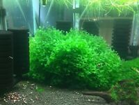 Subwassertang Round Pellia Moss. Very Nice Moss, Best Deal!Buy 2 Get 1 For Free