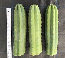 "Cactus, SAN PEDRO Echinopsis Trichocereus Pachanoi 3X12"" thick tip cuttings"