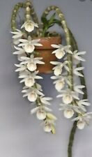 BIN📦Dendrobium crestaceum -Orchid Species From Asia! Fragrant  Easy To Grow