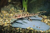 Premium Tiger Shovelnose Catfish REGULAR live fresh water aquarium fish