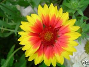 Kokardenblume - 30 Samen