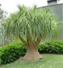 100 x PONYTAIL PALM Beaucarnea recurvata palm-like swollen trunk plants 40mm