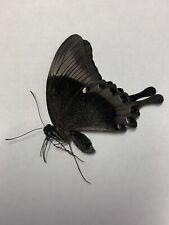 Papilio Palinurus A1 Papered Specimen Ex Philippines