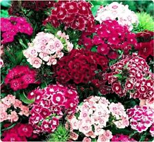 500 Dianthus Flower Seeds Sweet William Mix colors organic +gift