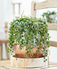 100PCS Peperomia Prostrata Seeds Bonsai Exotic Flower Bonsai Melon Leaves Decor