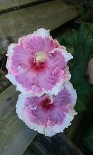 "EXOTIC PINK RUFFLES  BEAUTIFUL TROPICAL HIBISCUS PLANT 12"" TALL"