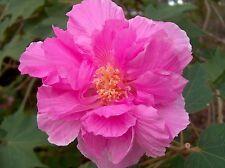 Hibiscus mutabilis CONFEDERATE ROSE HIBISCUS SEEDS!