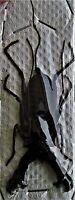 Large Whip Vinegar Scorpion Hypocnoctus rangunensis FAST FROM USA