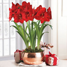 2PCs Bulbs True Red Hippeastrum Rutilum Amaryllis Flowers Symbolizes Love Plant