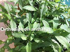 New listing Organic Orthosiphon Aristatus Cat's Whiskers Kumis Kucing Mao Xu Cao Balbas Pusa