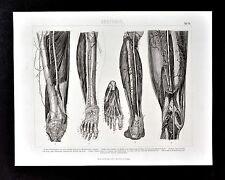 1874 Bilder Anatomical Print - Leg & Feet Muscles Veins Bones etc  Human Anatomy