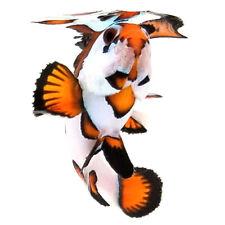 Sustainable Aquatics Orange Storm Designer Clownfish WYSIWYG