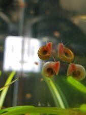 50 Pink Ramshorn Snails