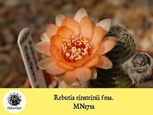 Cactus Seeds - Rebutia einsteinii fma. MN171a