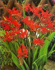 25+ Orange Crocosmia  Flower Seeds /  Long Lasting Perennial