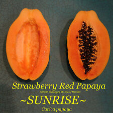 SUNRISE Strawberry RED PAPAYA Hybrid SUNUP SOLO BEST Papaya UH Cultivar 30+ SEED
