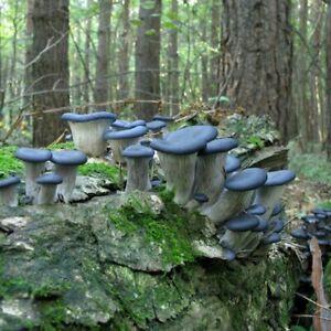 Seeds Mushroom Oyster Blue Mycelium Dried Spores Organic Ukraine