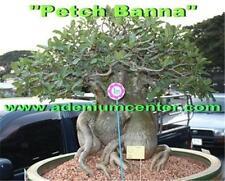 "ADENIUM THAI SOCOTRANUM DESERT ROSE "" PETCH BANNA "" 50 Seeds FRESH NEW RARE"
