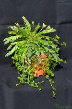 Biophytum sensitivum - 15 seeds, jurassic sensitive or live-leaf plant
