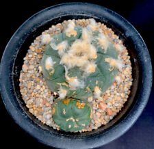 RARE Cactus Loph. jourdaniana BIG Plant