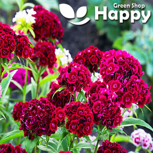 SWEET WILLIAM SCARLET- 1000 SEEDS - DIANTHUS BARBATUS RED - EXCELLENT CUT FLOWER