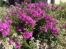 (4) Perennial Fragrant Tall Garden Phloxs loved by Butterflies & Hummingbirds!