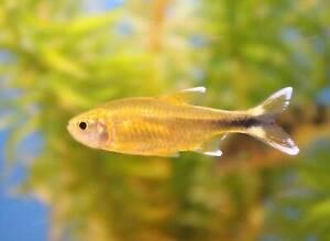 SILVER TIP TETRA - PEACEFUL VIBRANT COLOURFUL FRESH WATER AQUARIUM LIVE FISH