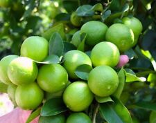 Lime Tropical Fruit tree plant