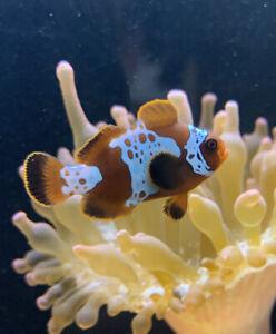 1x Lightning Maroon Clownfish Marine Fish Reef Aquarium