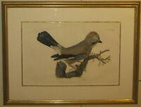Antique Prideaux JOHN SELBY Eurasian JAY Bird ENGRAVING from British ORNITHOLOGY