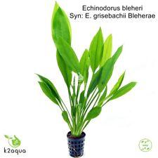 Echinodorus bleheri ( grisebachii Bleherae ) Amazon Sword  Live Aquatic Plant EU