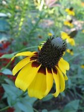 3000 Clasping Coneflower Rudbeckia Amplexicaulis Flower Seeds + Gift & Comb S/H